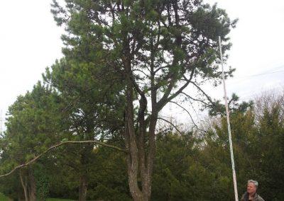 Pinus contorta 700-800cm KONIFEREN