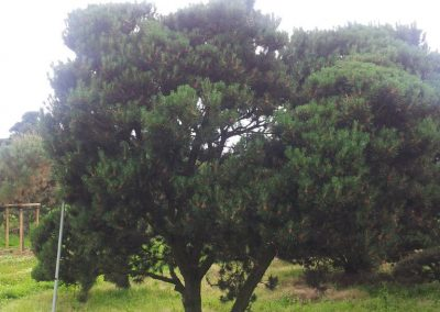 Pinus mughus 300-400x300-400cm KONIFEREN