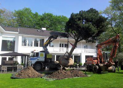 Pinus nigra (Schwarzkiefer) in Privatgarten. KONIFEREN REFERENZEN