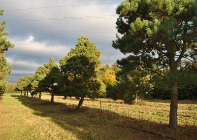 Pinus nigra ca. 8m hoch