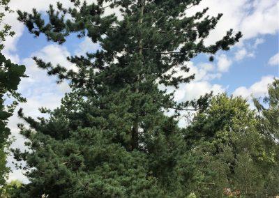 Pinus paviflora Glauca (Mädchenkiefer) KONIFEREN