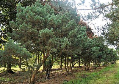 Pinus sylvestris typ Norske, ca. 4m KONIFEREN